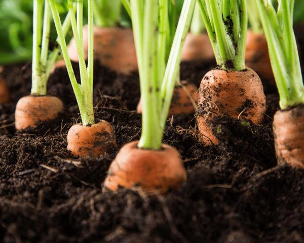 Biochar mejora para suelos